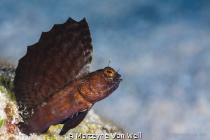 Sailfin blenny showing off by Marteyne Van Well