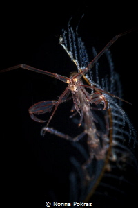 Skeleton shrimp by Nonna Pokras