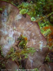 Pygmy seahorse 5mm by Marc Van Den Broeck