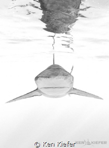 Face to Face with a beautiful Oceanic Whitetip Shark     ... by Ken Kiefer