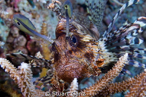 Lionfish by Stuart Ganz