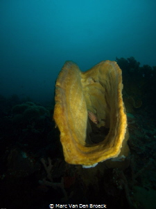 Yellow sponge by Marc Van Den Broeck