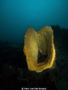 Yellow sponge by Marc Van Den Broeck