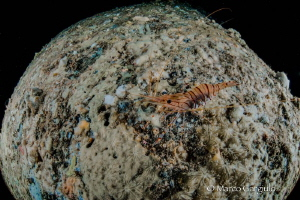 Shrimp over the moon by Marco Gargiulo