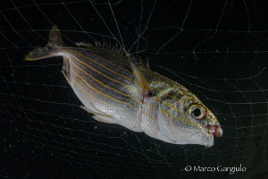 Boops sarpa in the net by Marco Gargiulo