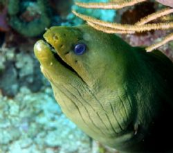 Green Moray, watching the divers, 18-55mm, Canon Rebel XT... by John Campbell
