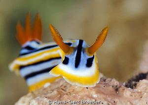 Chromodoris magnifica, Bunaken islands by Hans-Gert Broeder