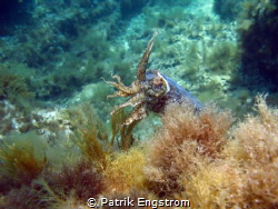 Cuttlefish on Fortizza reef Sliema Malta,shot with a Cano... by Patrik Engstrom