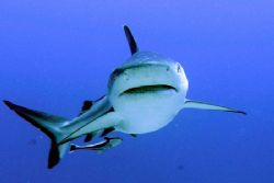 gray reef shark in Sudan by Guja Tione
