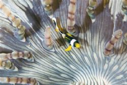 Clownfish in an anemone.   Sodwana, South Africa by Jason Keeton