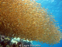 Enormous golden fish bait ball under the surface by Laura Dinraths