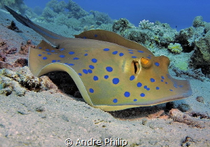 Blue spotted stingray by Andre Philip
