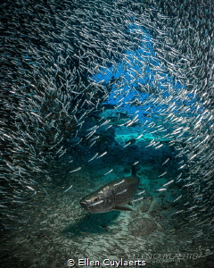 """""""Still No Sign"""" Silversides and tarpon in Cayman by Ellen Cuylaerts"""
