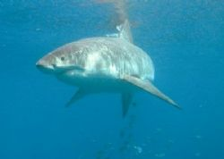 Great White Portrait - Guadalupe Mexico, Sept 2005. Tetra... by Kent Bonde
