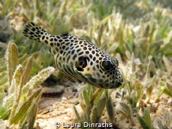 Juvenile giant puffer in seagrass by Laura Dinraths