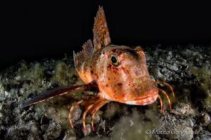 Trigloporus lastoviza, night dive by Marco Gargiulo