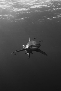 Rendezvous with oceanic whitecap shark. by Dmitry Starostenkov