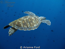 Green sea turtle. Bunaken National Park. by Arianne Ford