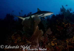 caribbean reed shark by Eduardo Nadal