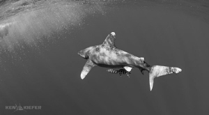 Turbulence  Oceanic Whitetip near the boat, which is cr... by Ken Kiefer