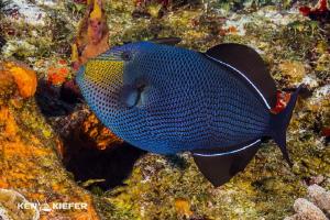 Black Durgeon in Cozumel Canon 5D3 w/ 8-15mm fisheye    ... by Ken Kiefer