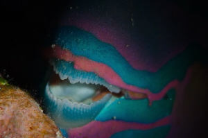 Sleeping parrotfish allowed me to shoot its compelling pa... by Dmitry Starostenkov