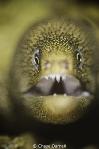 Golden Tail Moray in Grand Cayman! by Chase Darnell