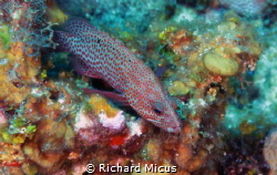 Red Hind at Peter's Place, Roatan Honduras by Richard Micus