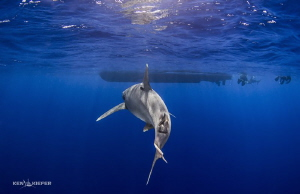 Oceanic Whitetip Shark approaches the dive boat as the su... by Ken Kiefer