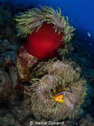 Fish acting the clown. Clown Fish. by Alexia Dunand