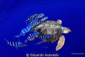 Open ocean caretta caretta tortoise. by Eduardo Acevedo