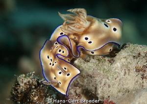 Hypselodoris tryoni Bunaken islands, Sulawesi, by Hans-Gert Broeder