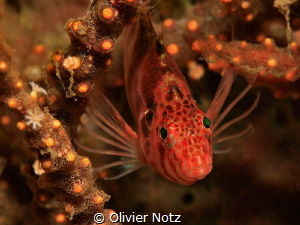 Spotted hawkfish, Tulamben, north of Bali by Olivier Notz