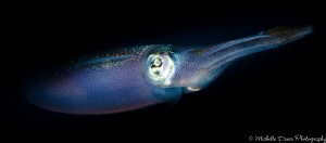 Reef Squid, Little Cayman, D7000, Ikelite Housing and Strobe by Michelle Davis