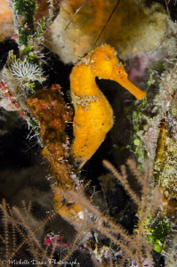 Seahorse, Little Cayman, D7000, Ikelite Housing and Strobe by Michelle Davis