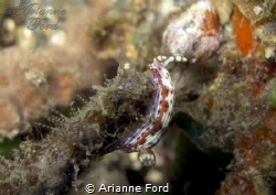 Spotted Hypselodoris (?) by Arianne Ford