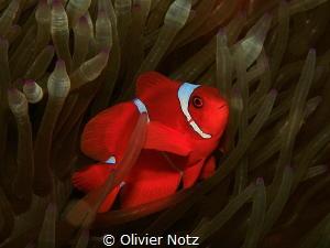 Maroon clownfish / Premnas biaculeatus by Olivier Notz