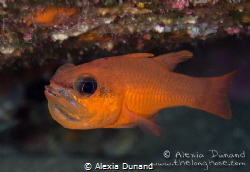 male Cardinal fish Apogon imberbis incubating eggs by Alexia Dunand