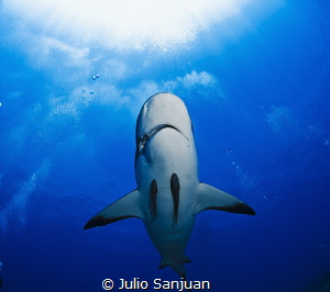 Shark in Roatan by Julio Sanjuan
