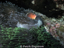 Clown in anemone Similans by Patrik Engstrom