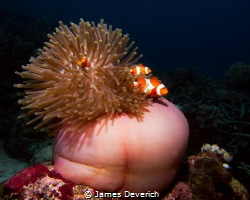 Three False clown fish in Anemone  Amphiprion ocellaris by James Deverich