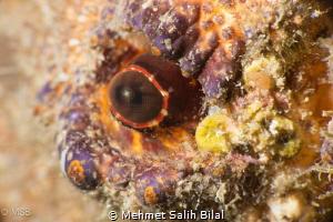 The eye of Scyllarides Latus. Nikon D800 + Nikkor 105 + N... by Mehmet Salih Bilal