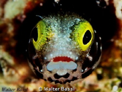 """""""Crazy"""" blenny by Walter Bassi"""