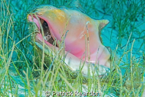 Conch taken with 105mm. by Patrick Reardon