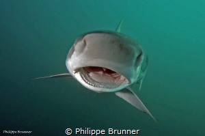Dusky shark by Philippe Brunner
