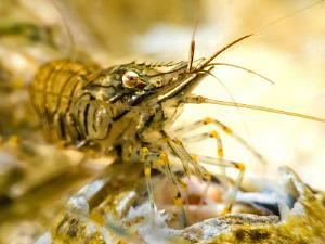 Shrimp super-macro by Paul Colley