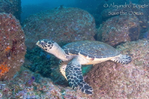 Turtle in the rocks by Alejandro Topete