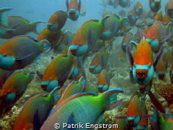 School of parrots Kuramathi Maldives by Patrik Engstrom