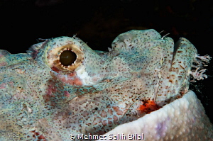 Scorpionfish resting as always. by Mehmet Salih Bilal