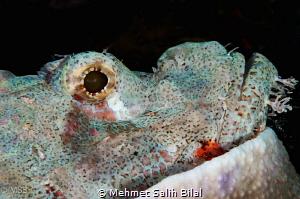 Scorpionfish resting as always. by Mehmet Salih Bilal